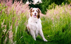 Picture grass, nature, dog, meadow, Australian shepherd