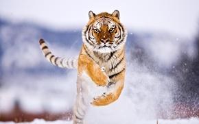Wallpaper Tiger, Snow, Winter, Jump