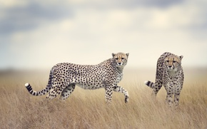 Wallpaper field, grass, predators, pair, haze, two, bokeh, cheetahs