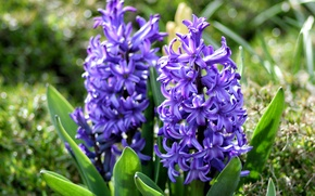 Picture purple, spring, hyacinths