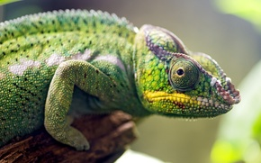 Picture animal, chameleon, eyes