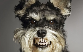 Wallpaper animal, anger, dogs