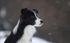 Picture winter, snow, flies, border collie, Border collie