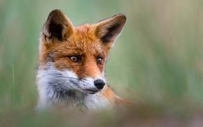 Picture look, face, portrait, Fox, red, ears, bokeh