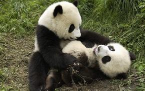 Wallpaper the game, Panda, tropics