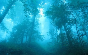 Picture forest, trees, blue, fog