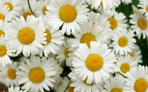 Picture petals, garden, Daisy, flowerbed