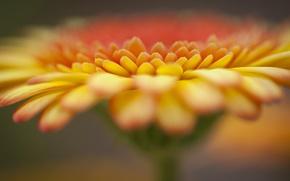 Picture flower, orange, focus, gerbera