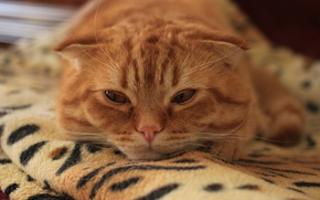 Picture sadness, cat, look, fold, kitten, cat, Monya, scottish, fold