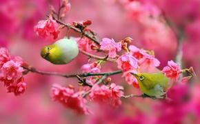 Wallpaper flowers, branches, nature, cherry, Sakura, Birds, pink, Japanese white-eye