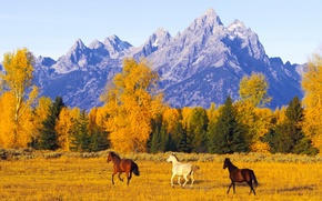 Picture autumn, freedom, mountains, space, Horses