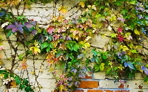 Picture autumn, leaves, wall, paint, figure, color, ivy