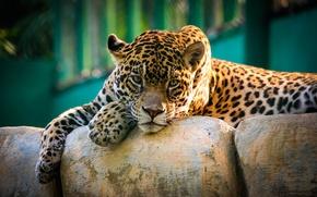 Picture look, Jaguar, wild cat