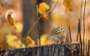 Picture autumn, branches, stump, Chipmunk, bokeh, animal, rodent