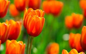 Picture field, flowers, Tulips, orange, fire