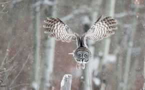 Picture winter, owl, bird, wings, flight, great grey owl