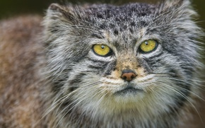 Picture cat, look, face, portrait, manul, ©Tambako The Jaguar