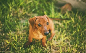 Picture greens, grass, eyes, dog, blur, Dachshund, face, bokeh