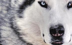 Wallpaper dog, wolf, white