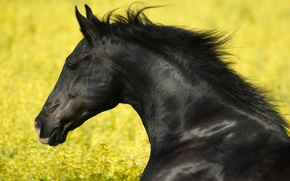 Wallpaper stallion, black, horses