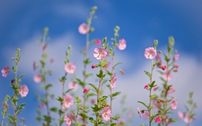 Picture the sky, tenderness, bokeh, lavatera, the lavatera
