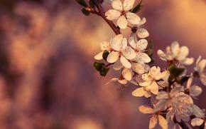 Wallpaper macro, flowers, cherry, color, branch, spring, flowering