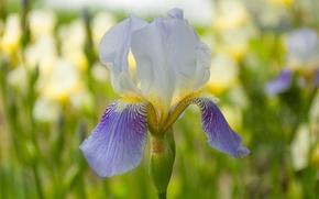 Picture summer, morning, iris