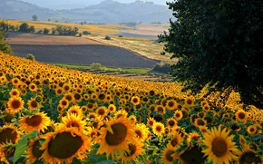 Picture field, flowers, hills, sunflower, Italy