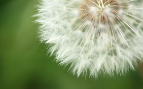 Picture flower, nature, background, dandelion, fluff