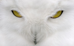 Picture look, white, owl, white