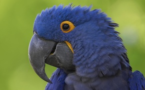 Picture Blue, Parrot, Beak