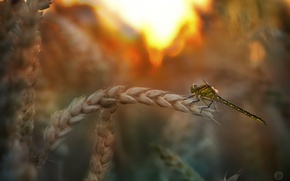 Picture wheat, summer, dragonfly, insect