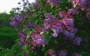Picture flowers, Bush, lilac
