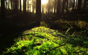 Wallpaper the edge, thicket, forest, the sun, branches, moss, trunks