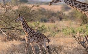 Picture pair, giraffes, Savannah, Africa, cub