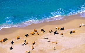Wallpaper sea, shore, France, Corsica, cows