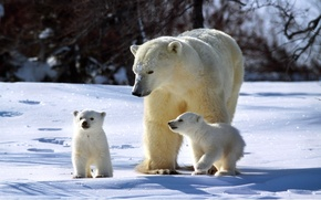 Picture winter, snow, bear, family, three, bears, Sunny, bear, sparkles, Polar