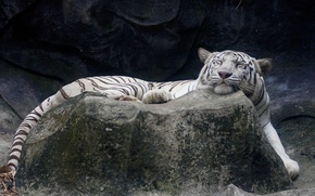 Picture white, tiger, stone, sleeping, lies, happy face