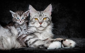 Picture cat, background, kitty, maine coon