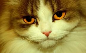 Picture close-up, fluffy, Kote, orange eyes