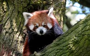Picture tree, animal, blur, mammal, Red Panda, Red Panda