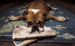 Picture newspaper, lies, bulldog