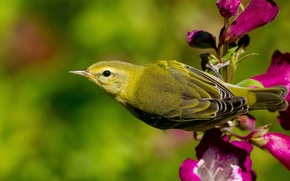 Picture flower, bird, Warbler, Warbler Tennessee