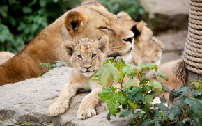 Picture cats, stone, cub, lions, lion