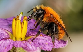 Picture flower, insect, bumblebee