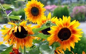 Picture Park, sunflower, petals, garden