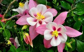 Picture greens, drops, flowers, pink, the catchment, Aquilegia, aquilegia, Orlici