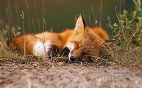 Picture forest, grass, sleep, Fox