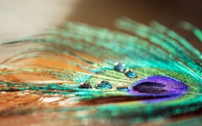 Picture water, drops, macro, Rosa, pen, widescreen, Wallpaper, wallpaper, peacock, widescreen, background, macro, full screen, HD …
