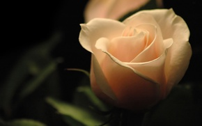 Picture the dark background, rose, glow, rose